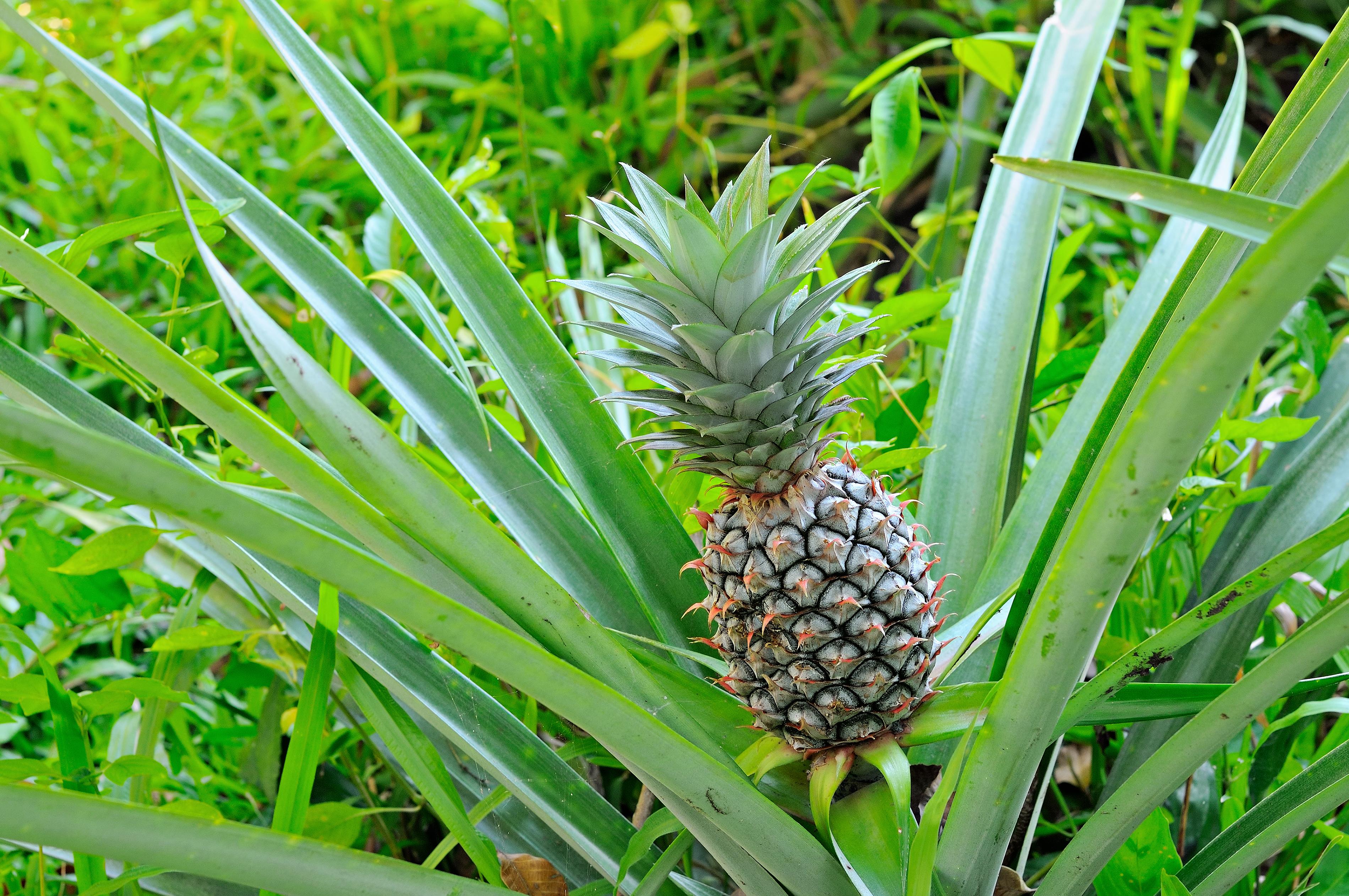 Ananasplant in het wild
