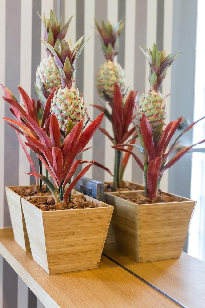 Prachtige ananasplanten