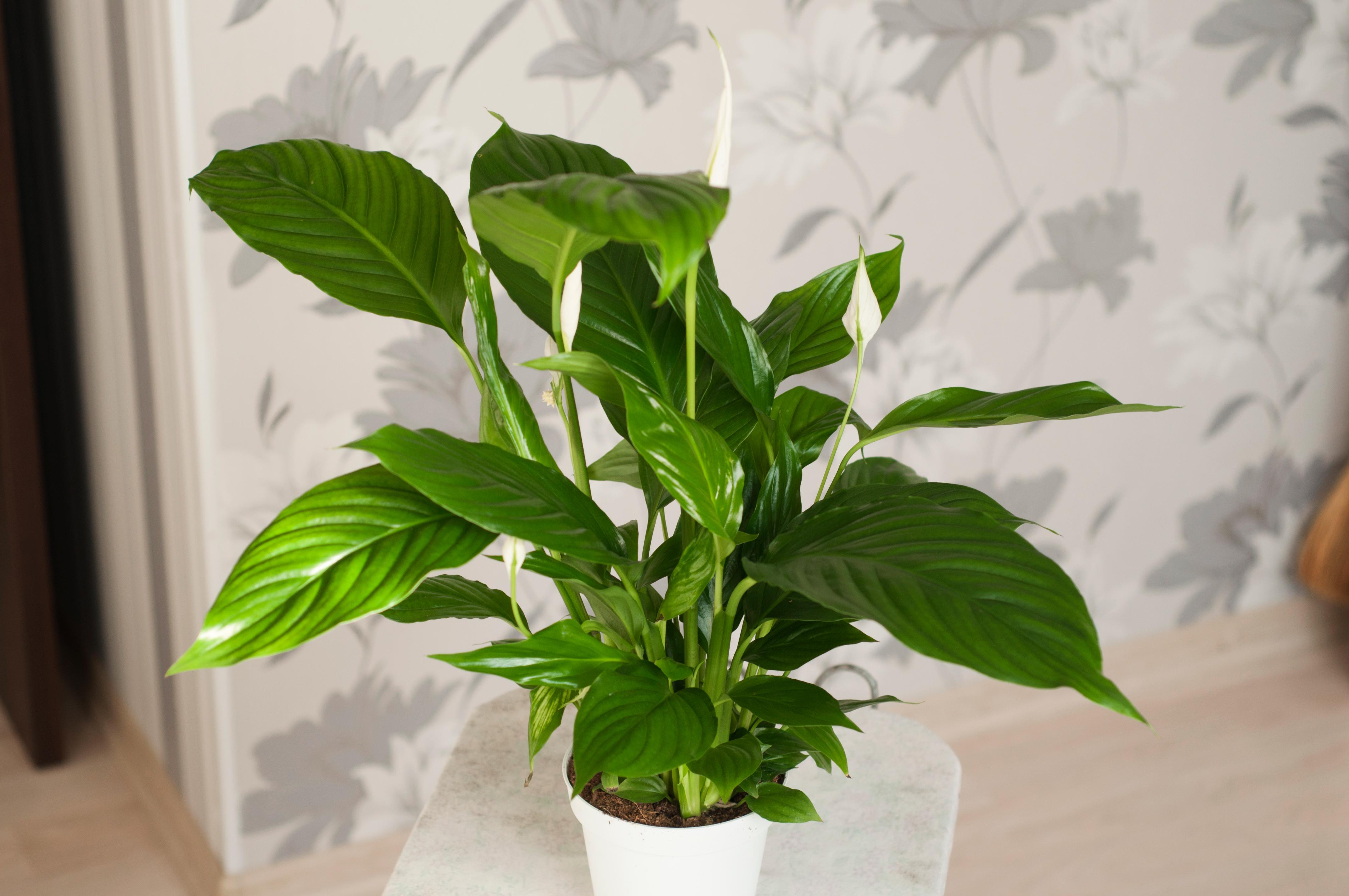 Lepelplant, top vijf kamerplanten