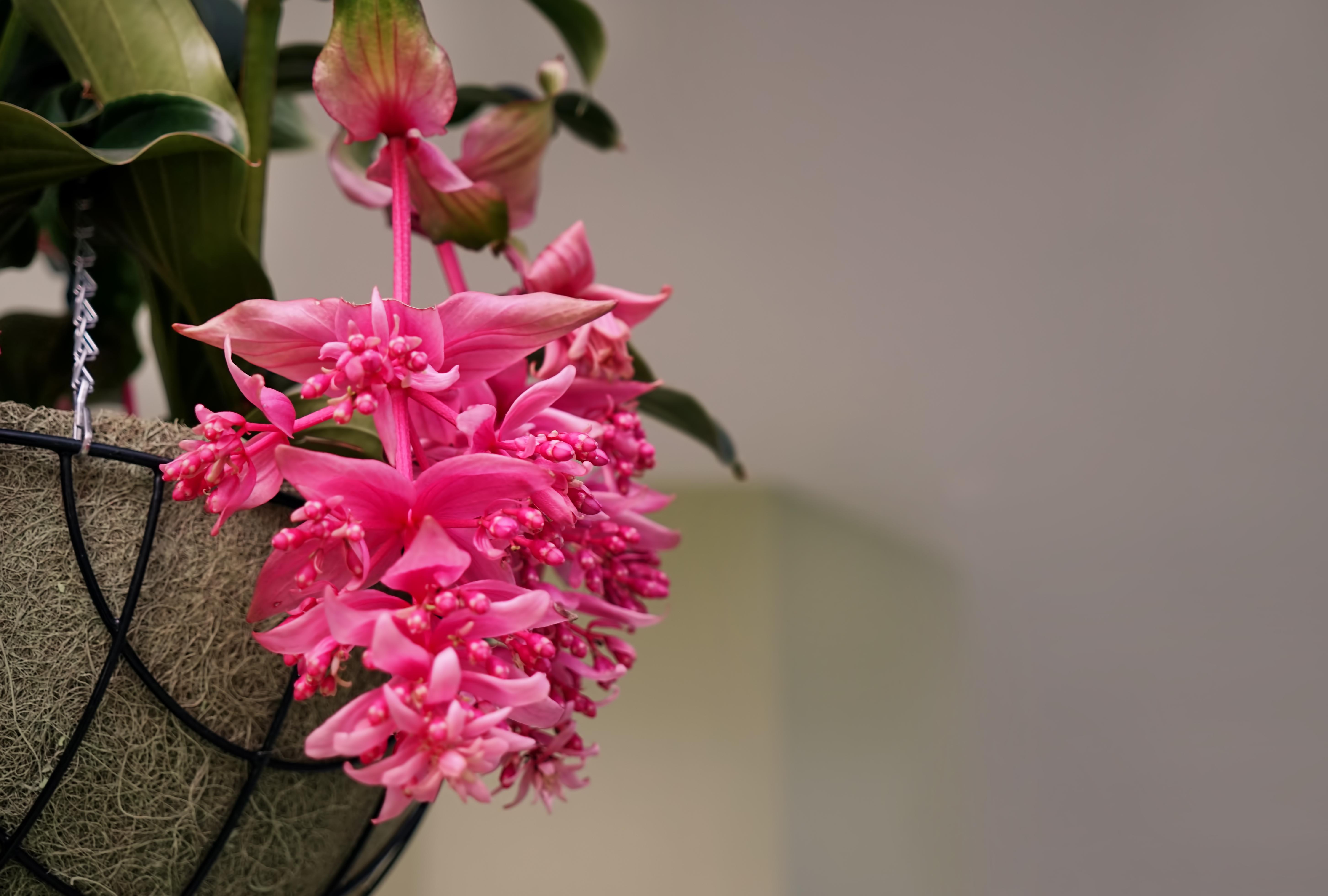 Medinilla, planten top vijf