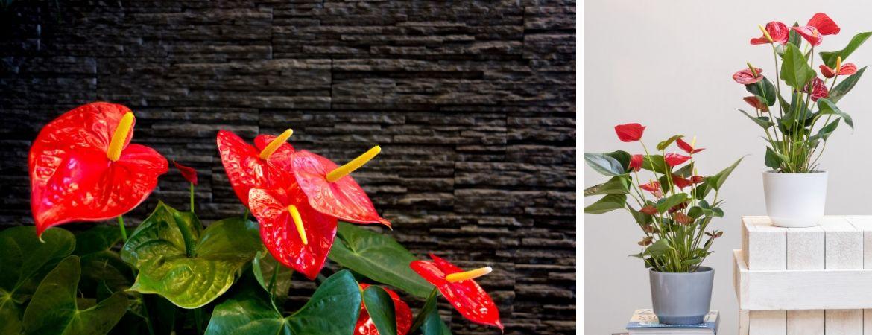 Bloeiende kamerplanten kopen bij GroenRijk Oosterhout