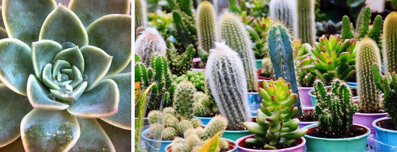 Cactussen en vetplanten kopen bij GroenRijk Oosterhout