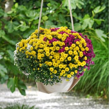 Bolchrysant in pot