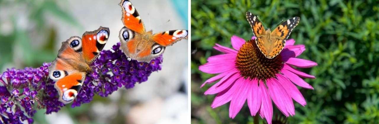 Maak een vlindervriendelijke tuin | Tuincentrum Oosterhout